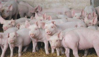 Новый штамм вируса свиного гриппа, который может привести к очередной пандемии, обнаружен в Китае
