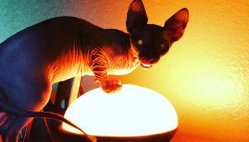20 фото фактов того, что сфинксы — не самые фотогеничные кошки