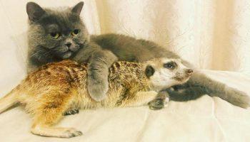 Сладкая парочка: сурикат Суря и кот Найс