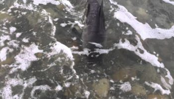 Собака спасла дельфиненка, который застрял на мели у берега