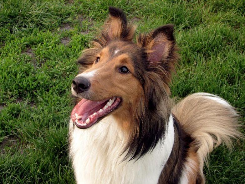 Топ-10 самых умных пород собак: шелти