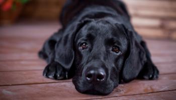 Топ-10 самых дрессируемых пород собак