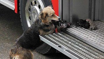 Спасая щенков от пожара, собака выносила их прямо в пожарную машину