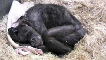 Почувствовав, что близится ее конец, шимпанзе по кличке Мама «по-человечески» простилась с человеком, которого знала более 40 лет