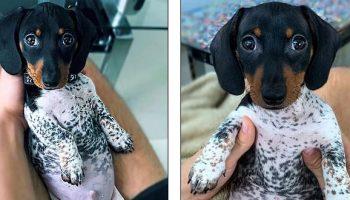 Необычный окрас этого щенка таксы, все путают с пижамой
