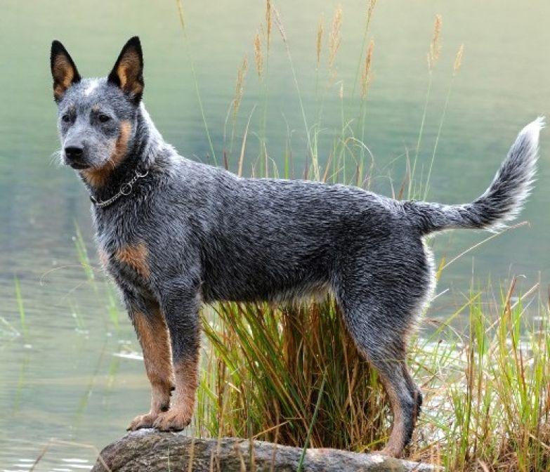 Топ-10 самых умных пород собак: австралийская пастушья собака