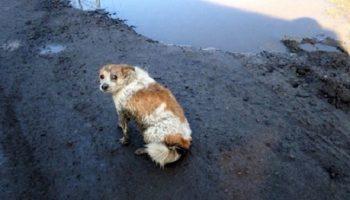Сбитая автомобилем собачка, лежала на обочине дороги и молила людей о помощи