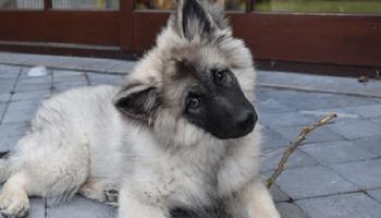 Очаровательное видео о том, как неуклюжий щенок кизхаунда по кличке Арко, тщетно пытается подняться на диван