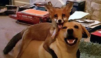 Спасённого лисенка Викси, воспитали домашние собаки