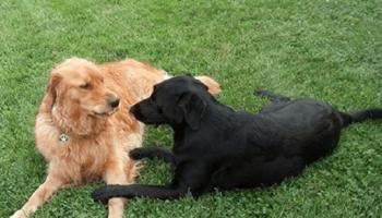 Соседские собаки Холли и Гарри вот уже на протяжении семи лет влюблены друг в друга