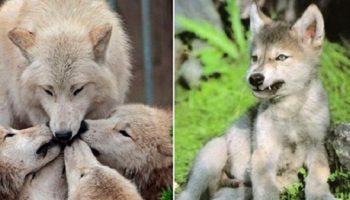 После гибели своей волчицы, овдовевший волк сам заботится о пятерых волчатах