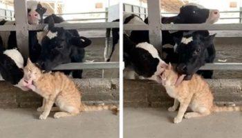 Судя по выражению мордашки, коту очень даже нравится то, что его, буквально, зализали телочки