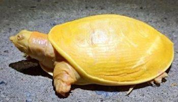 Странную черепаху ярко — желтого цвета, обнаружили в Индии