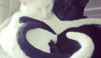 Эти позы, в которых спят кошки, если они не одни, по праву считаются самыми забавными