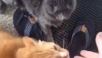 Коты жуткие эгоисты и ревнивцы: реакция котов на то , что хозяйка гладила соседского Рыжика