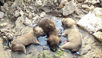 Маленькие щенки громко скулили, пытаясь из последних сил выбраться из расплавленной смолы