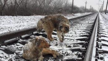 История о невероятной собачьей верности: пес два дня прикрывал телом раненую подругу на рельсах!
