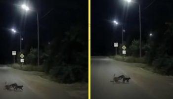 Собаке с поврежденными лапами, две кошки помогли перейти дорогу