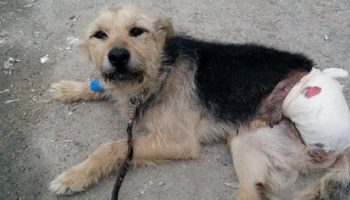 История собаки Тоси, которая ходила по улицам с обломком кости вместо лапки