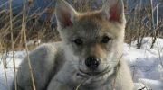 Спасенный бабушкой маленький волчонок, отплатил ей добром через 2 года