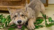 Самый добрый волк в мире. Вы такого точно никогда не видели!