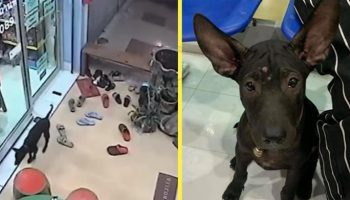 Потерявшийся щенок вспомнил дорогу к ветеринарной клинике, в которую его когда-то возил хозяин и пришел туда, чтобы его вернули домой
