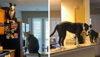 Приемного питбуля из приюта, взяли в оборот хозяйские коты и быстро воспитали на свой манер!