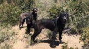 Редкие собаки породы кане-корсо потерялись в горах и одичали