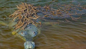 Снимок огромного аллигатора, который «перевозит» на своей широкой спине сотню детёнышей, покорил мир