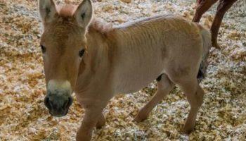 Новая сенсация в мире науки, поможет возродить лошадей Пржевальского