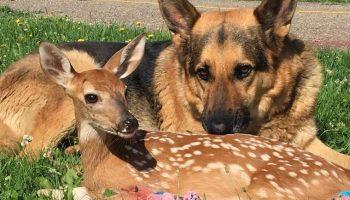 Удивительная история овчарки Сардж, которая вырастила олененка