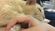 Старый кот Джейми с полными печали глазами, засыпает только тогда, когда его держит за лапку новая хозяйка