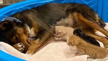 Мамой троих котят стала овчарка из Австралии, потерявшая своих щенков
