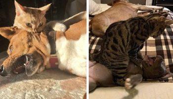 20 доказательств тому, что наглая домашняя кошка — самый страшный зверь для собаки