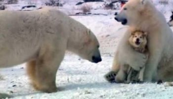 Белый полярный медведь играет с обычными собаками