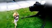 Маленькая собачка породы чихуахуа «напала» на дога. Неравная схватка