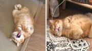 Своей манерой спать, очаровал Интернет рыжий кот Толстый Сян из Тайваня