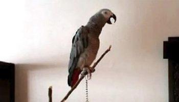 Сказку о Красной Шапочке рассказывает попугай – сказочник