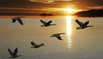 5 уникальных уроков, которые преподносят человечеству обычные гуси