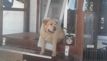 На время отъезда, девушка попросила своего друга присмотреть за собакой