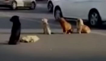 Чтобы помочь своему другу, сбитому автомобилем, собаки заблокировали дорогу