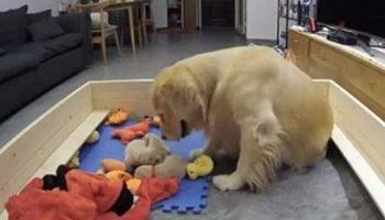 Милейшее видео о том, как впервые ставшая мамой собака, трогательно заботится о щенках
