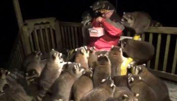 Вот уже 20 лет, дедушка кормит диких енотов фаст-фудом по ночам