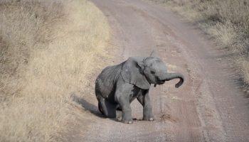 Вы видели, как слонята закатывают истерику родителям?