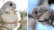 Самые очаровательные зверушки на свете — японские белки-летяги