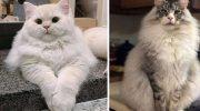 20 максимально пушистых котиков, у которых меха столько же, сколько обаяния
