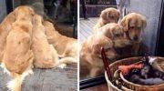 20 милых доказательств, что лабрадор или ретривер — лучшие собаки