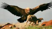 Самая тяжелая в мире, летающая птица — Андский кондор